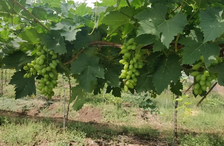 Grapa awards Jupiter Group ARRA table grape exclusivity in India in 'unprecedented move'