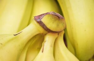 Banana market faces great change as monoculture threatens extinction of West's most popular variety