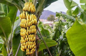 A quarter of farms flooded for major banana exporter