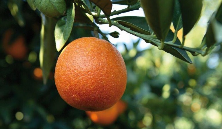 Italy: Sicily set for best citrus crop in 10 years, claims Oranfrizer