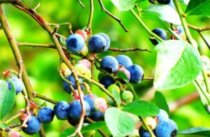 Innovate UK uses science to safeguard domestic blueberry and raspberry production