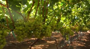 New varieties to buoy Mexican grape exports in 2017