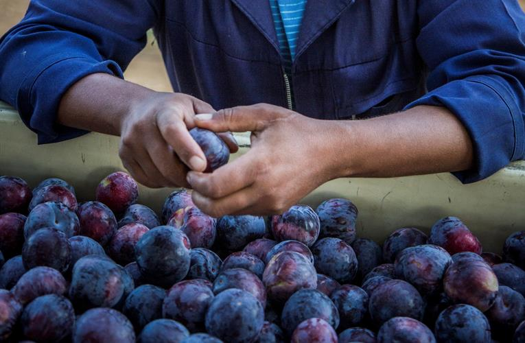 South African plums, peaches and nectarines looking good this season