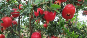 "India: Kay Bee Exports to target ""mainstream"" US pomegranate market in 2018"