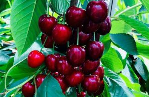 UK growers foresee favourable season ahead for cherries from UK, abroad