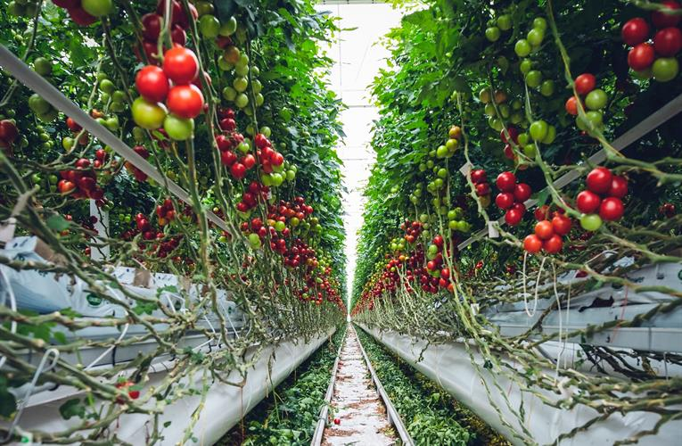 Growers, researchers use new sensor technology to try to boost tomato yields