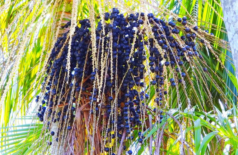 Could acai berries have an effect on limiting severe coronavirus symptoms?
