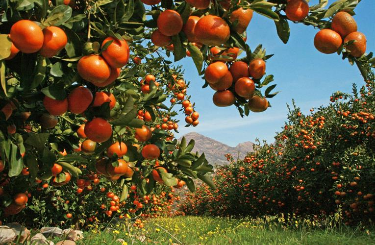 Morocco, South Africa citrus imports expected to supplant decline from EU