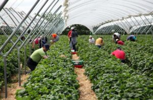 Strawberry production grows 6% as season gets underway