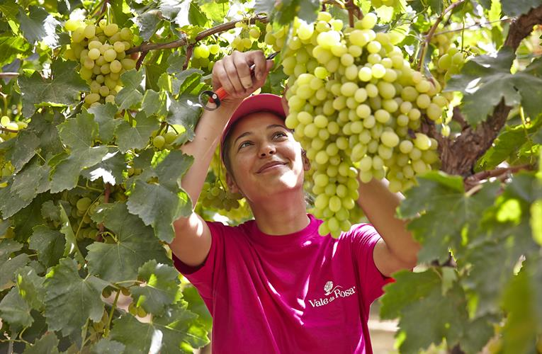 Sun World licensees target greater integration to benefit grape buyers