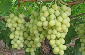 Lower early season Indian grape exports expected due to flooding